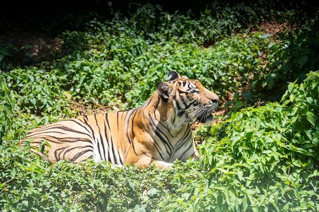 虎は森の中で休んでいます。 Premium写真