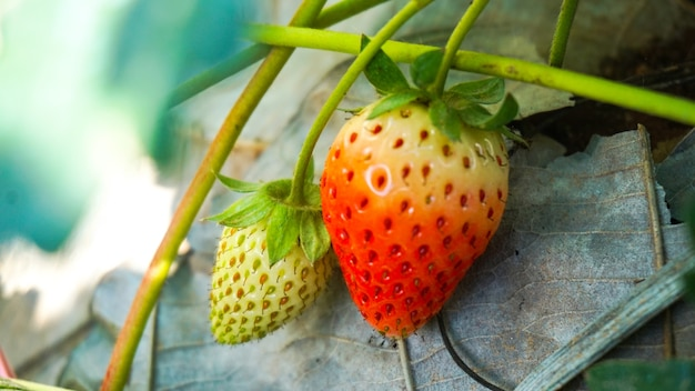 新鮮なイチゴの背景。庭の熟したイチゴのクローズアップ Premium写真