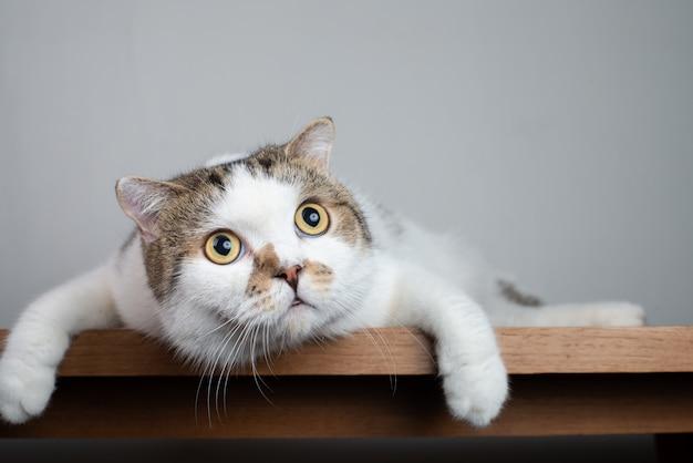 衝撃的な顔と広く開いた目でスコティッシュフォールド猫の頭を閉じる Premium写真