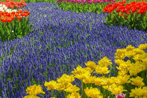 チューリップ祭、アムステルダム、オランダの間に公園でカラフルな咲くチューリップフィールド Premium写真