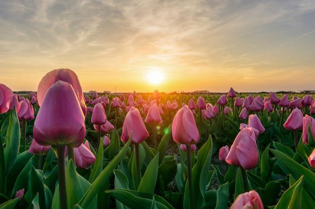 日の出の空、アムステルダム、オランダの下で春にオランダの美しいチューリップ畑 Premium写真