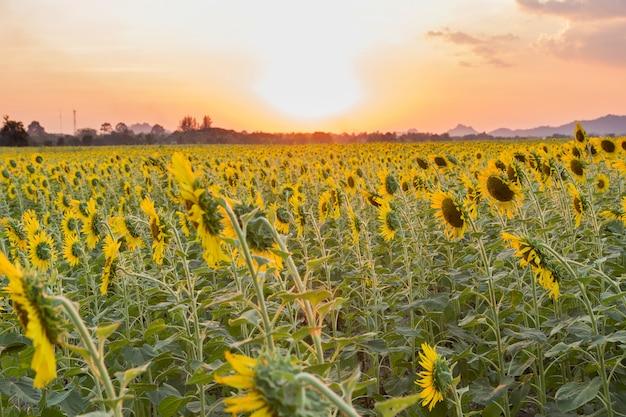 Красивые подсолнухи в весеннем поле Premium Фотографии