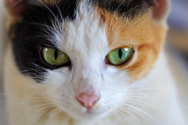 かわいい目のシャム猫のクローズアップ Premium写真