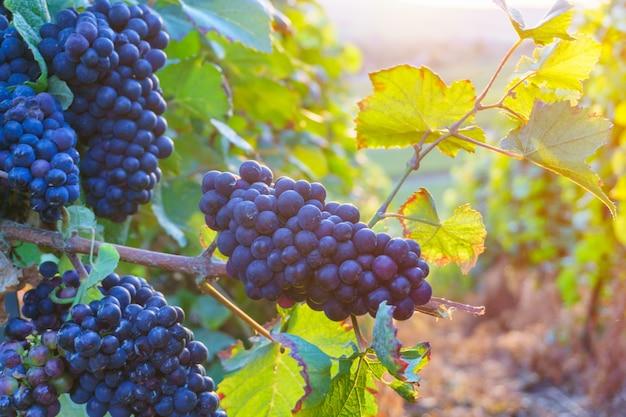 Заделывают виноградной лозы в регионе шампанского в осенний урожай, реймс, франция Premium Фотографии