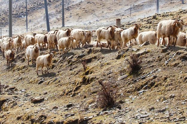 歩道で牧草地の羊とヤギと中国南西部の風景雪の山 Premium写真