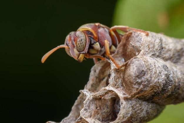 スーパーマクロスズメバチとスズメバチの巣の幼虫 Premium写真