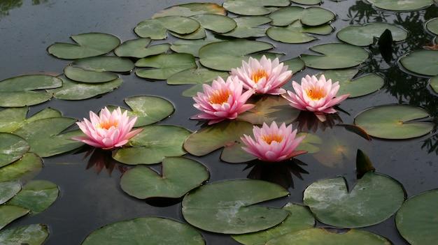 蓮の花と蓮の花の植物 Premium写真