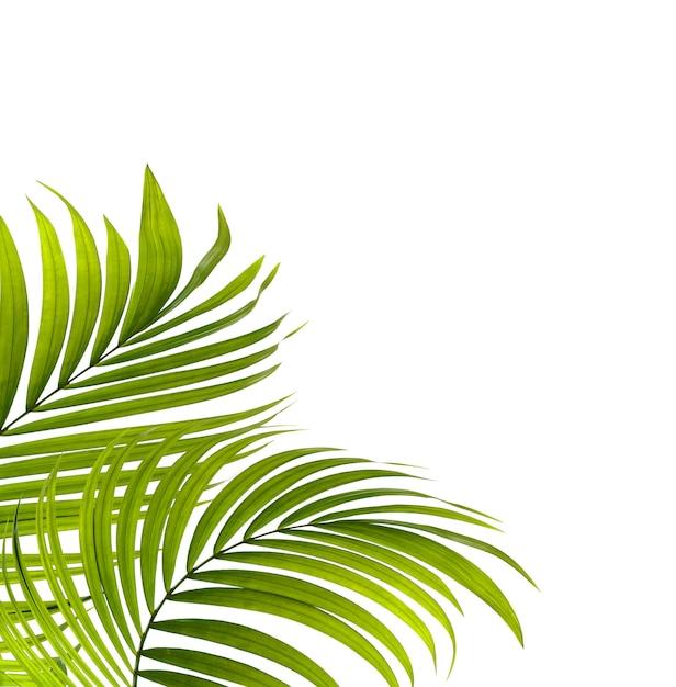 白い背景の上のヤシの木の緑の葉 Premium写真