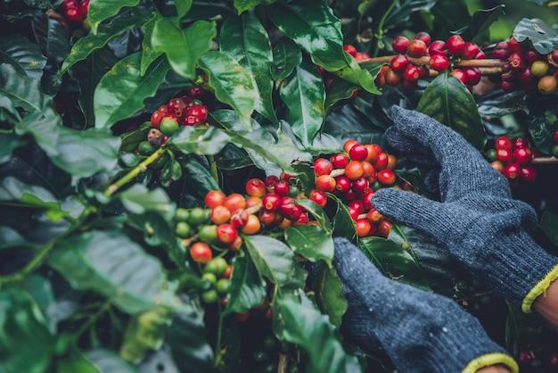 コーヒー農園でコーヒー豆とコーヒーの木、コーヒー豆を収穫する方法。アラビカコーヒー豆を収穫します。 Premium写真