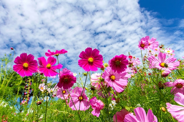 Космос цветы и голубое небо фон Premium Фотографии