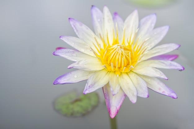 蓮の花池の美しい白いスイレン Premium写真