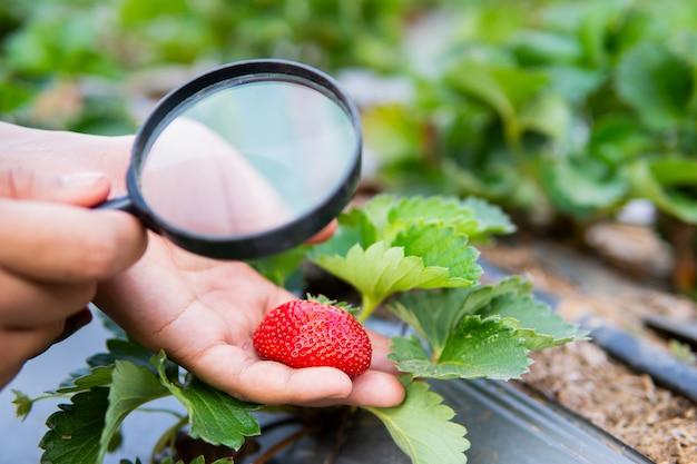 虫眼鏡が有機農場でイチゴの植物をチェックを持っている女性の手。 Premium写真