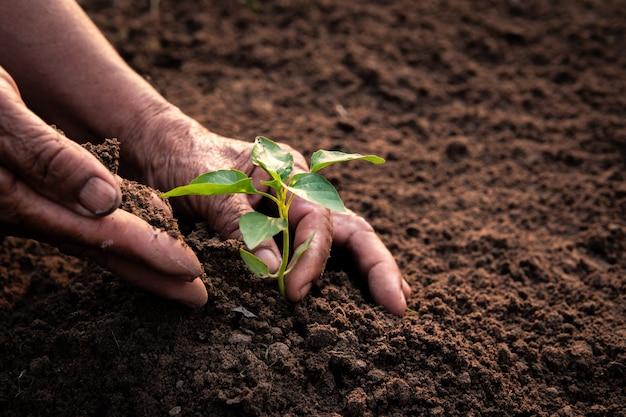 古い手は土にもやしを植えます。 Premium写真