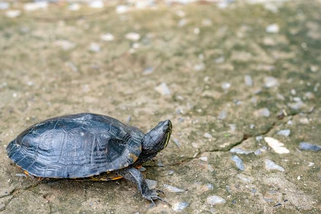 Черепаха ползет по цементной дороге Premium Фотографии