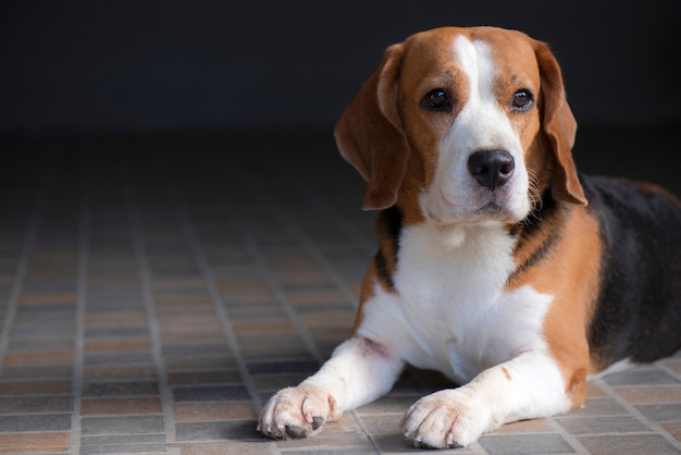 ビーグル犬は座っていると疑ってそれを見ています。 Premium写真