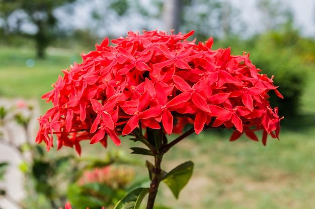 Фотографий красный цвет иксора Premium Фотографии