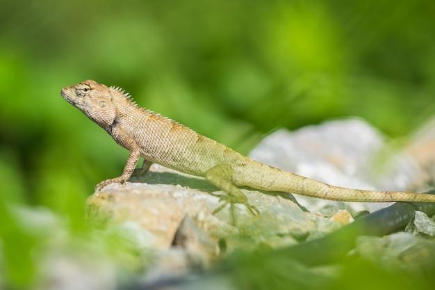 Азиатская ящерица лазает по каменистой местности, ищет что-то Premium Фотографии