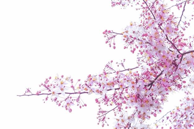 白い背景の上に咲く野生のヒマラヤ桜桜 Premium写真