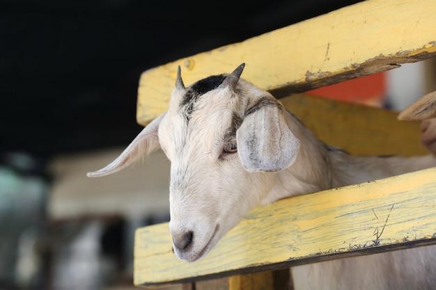 若いヤギ Premium写真