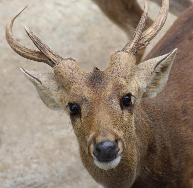 鹿の頭を閉じる Premium写真