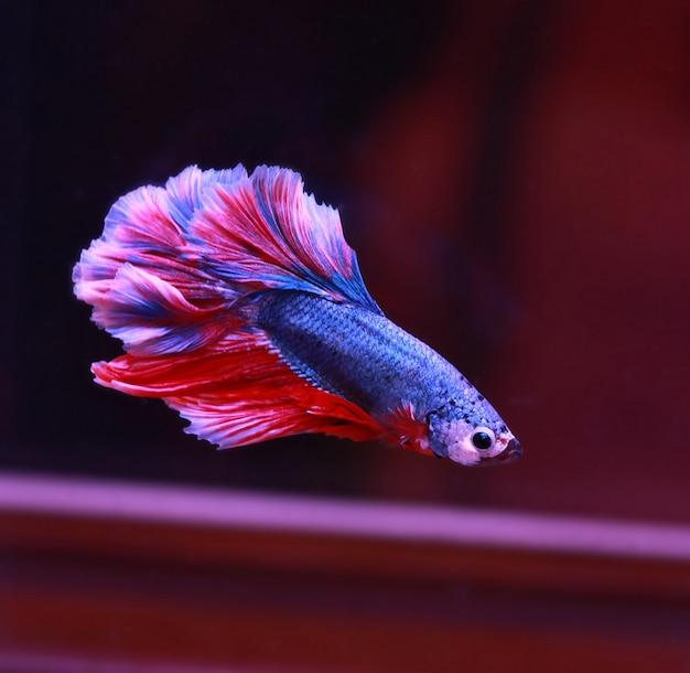 赤白ベータ魚の尾が水槽で泳ぐ Premium写真
