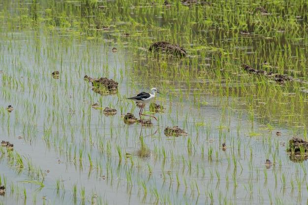 鳥とプランテーション若い田んぼを見つける Premium写真