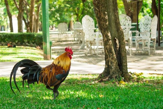 公園を歩いている鶏。自然な背景。 Premium写真