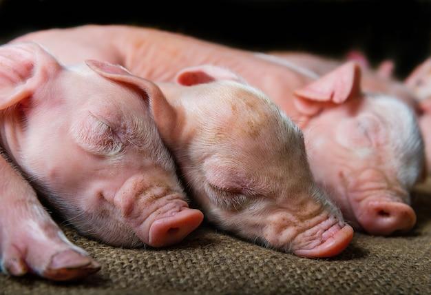 Картинки семья свиньи