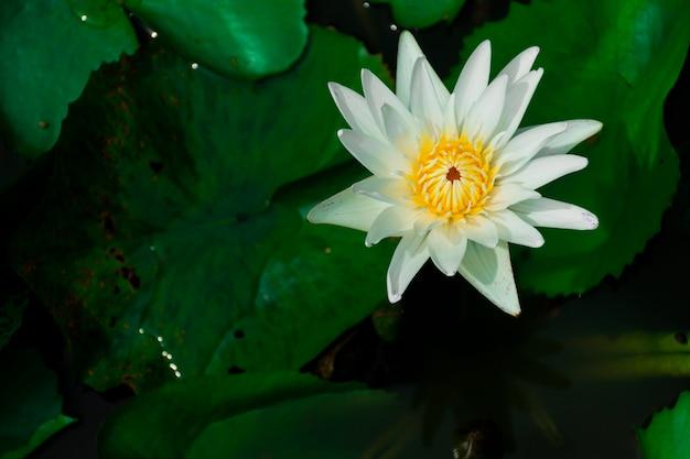 白い蓮の花と黄色い雄しべ。蓮の葉のある池で。 Premium写真