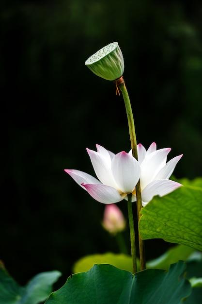 黒の蓮の鞘と美しい白い蓮の花 Premium写真