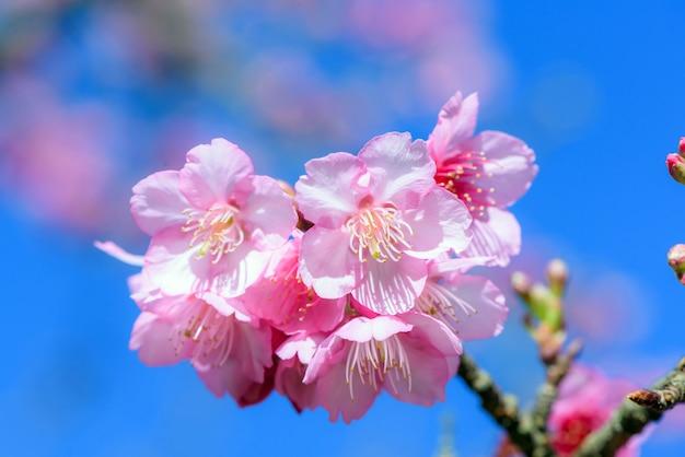 Красивый розовый вишневый цвет с голубым небом Premium Фотографии