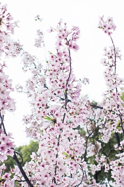 Сакура вишневый цвет Premium Фотографии