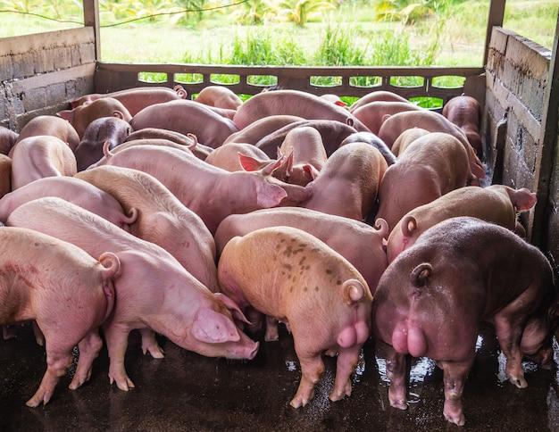 ブリーダーピンク豚農場で Premium写真