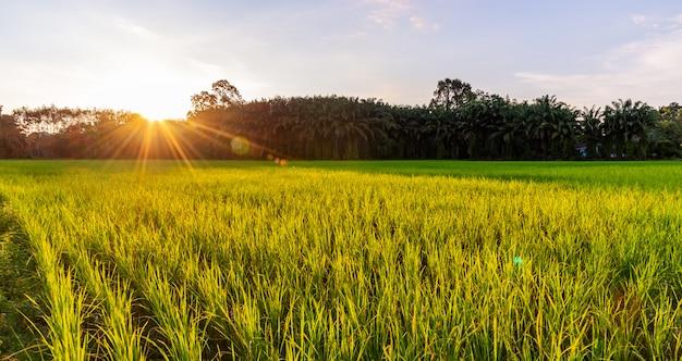 日の出や日没と太陽光線のフレアとパノラマの田んぼ Premium写真