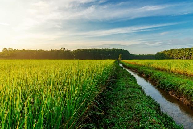 日の出または日没の朝の光の田んぼ Premium写真