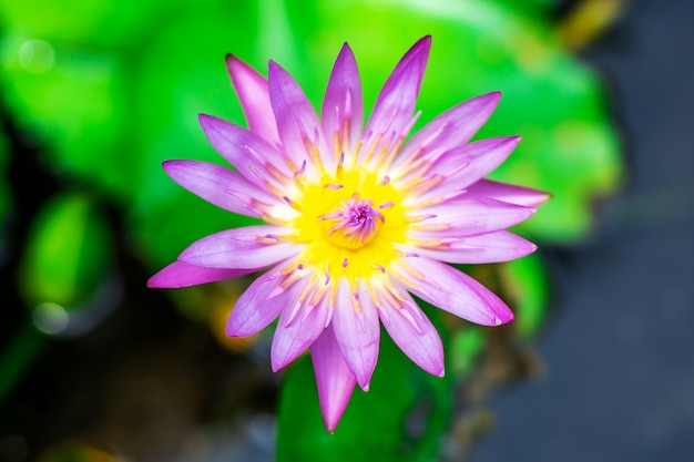 非常に新鮮な盆地の紫色のユリの水または蓮の花 Premium写真