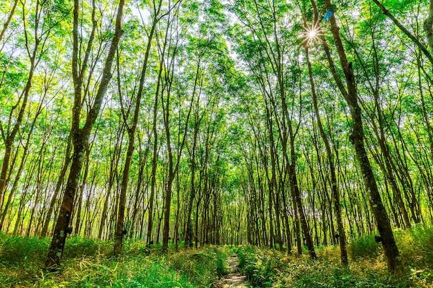 Пара каучукового дерева, латексная каучуковая плантация и дерево каучуковое Premium Фотографии