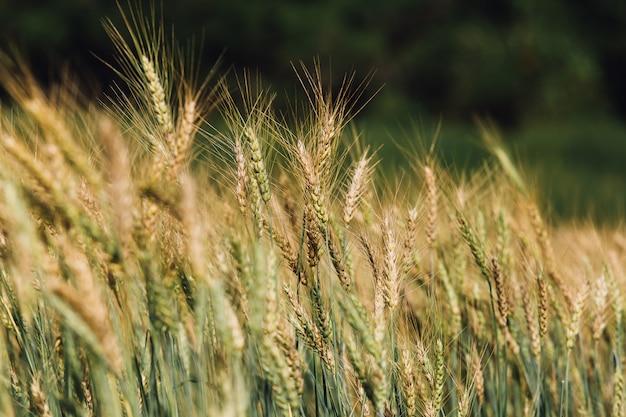 日没の麦畑 Premium写真