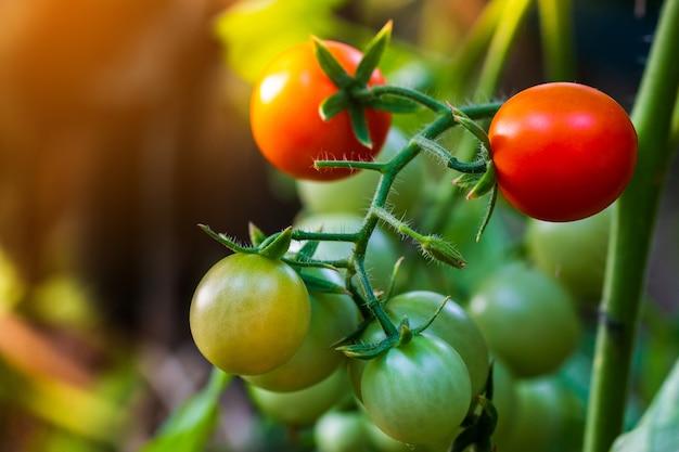 温室で育つ美しい赤い熟した家宝のトマト。 Premium写真