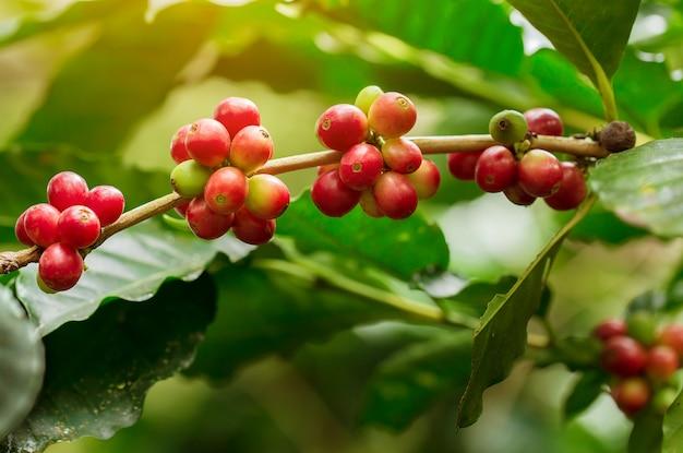 熟したコーヒー豆、新鮮なコーヒー、赤いベリーの枝 Premium写真