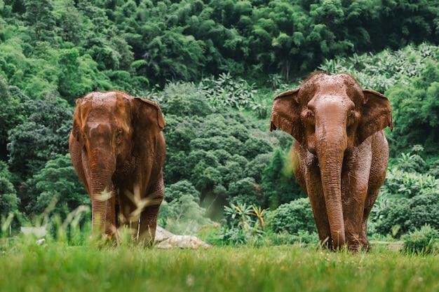 Азиатский слон в природе в глубоком лесу в таиланде Premium Фотографии