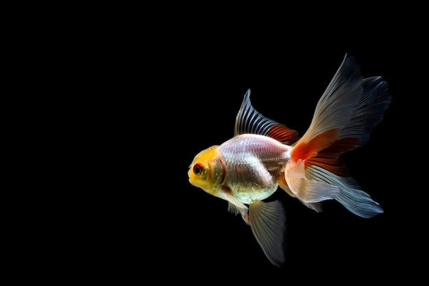 暗闇の中で分離された金魚 Premium写真