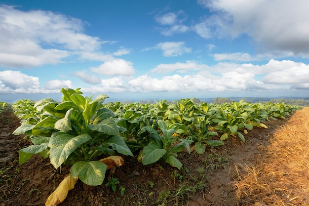 Плантация табака в сельхозугодьях зеленая и растущая для сделанной сигары и сигареты. Premium Фотографии