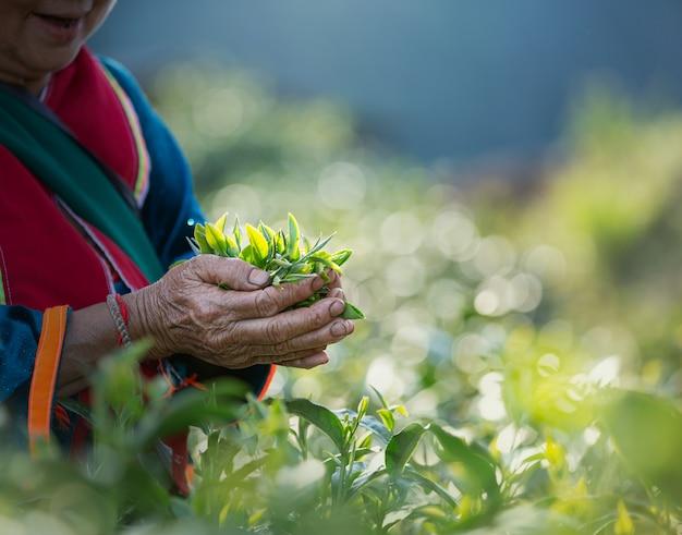 茶園で、女性の手で新鮮な茶葉 Premium写真