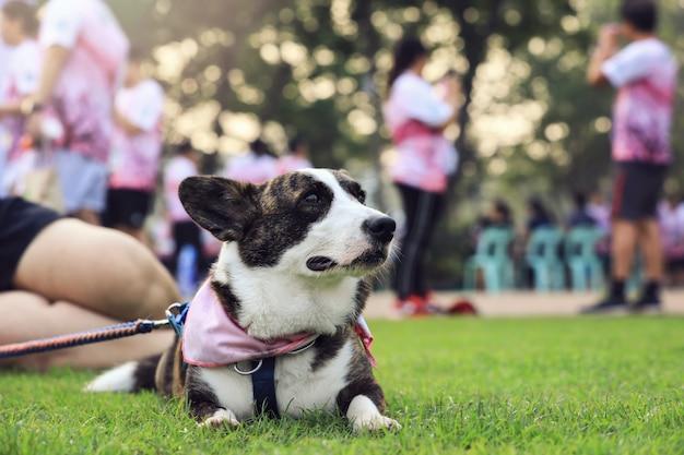 実行中のコンテストの後、公園の緑の芝生に横たわって舌を出したペンブロークウェルシュコーギー犬の肖像画。 Premium写真