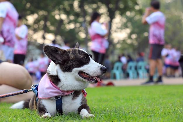 コンテストを実行した後、公園のコンクリートの床に横たわっているペンブロークウェルシュコーギー犬の肖像画。 Premium写真