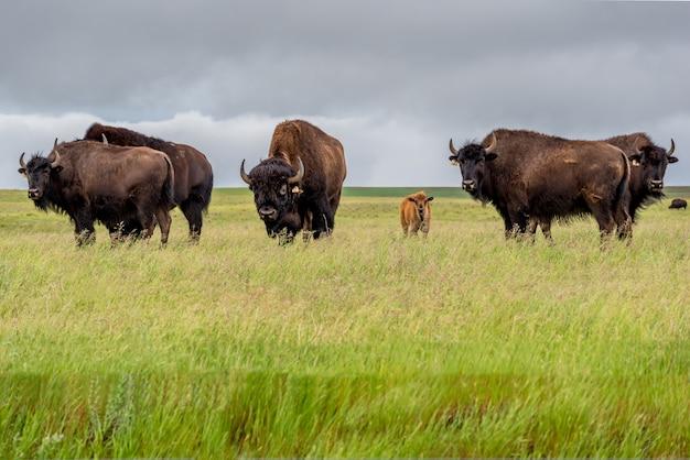 カナダのサスカチュワン州の牧草地で放牧している子牛と平野バイソンバッファローの群れ Premium写真