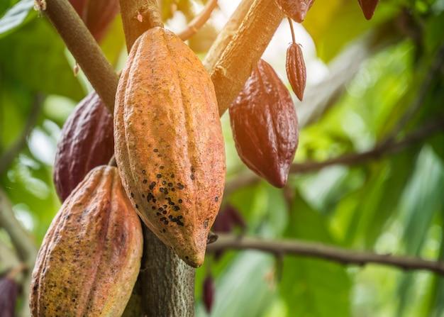 果物とココアの木。黄色と緑のココアポッドが木に成長します。 Premium写真