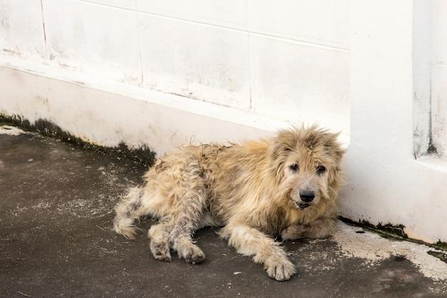 放浪犬はカメラを見つめて外をしゃがみます。写真家、野良犬、ホームレス犬を見て犬 Premium写真