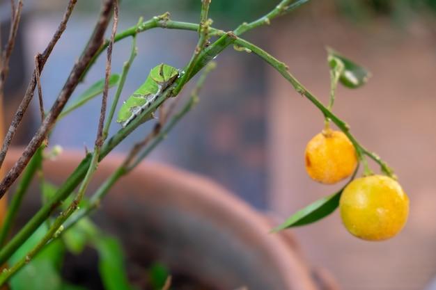 木の枝に葉を食べる大きな緑みみず Premium写真